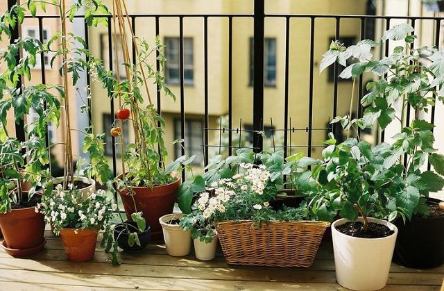 Come coltivare il rosmarino sul balcone di casa