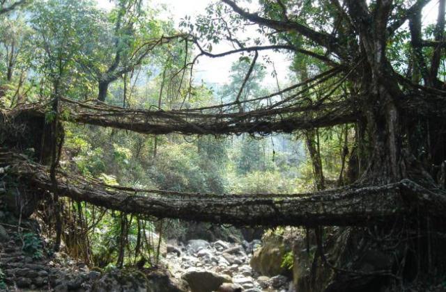 ponte di radici di caucciù