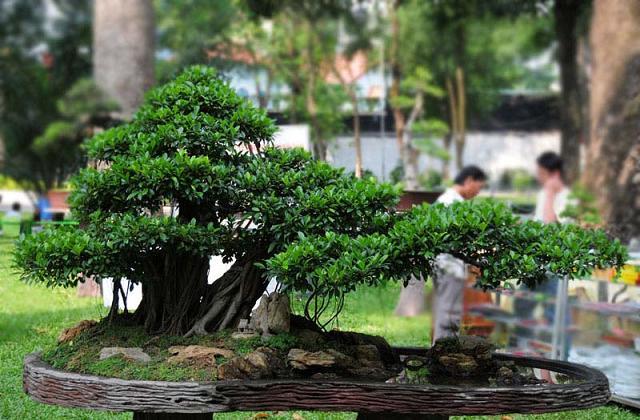 Come coltivare e prendersi cura del bonsai