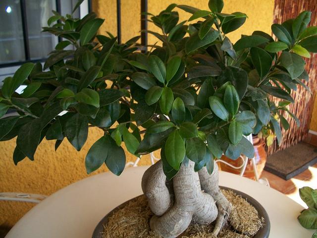 Come coltivare e prendersi cura del bonsai pagina 2 di 3 - Cura dei bonsai in casa ...