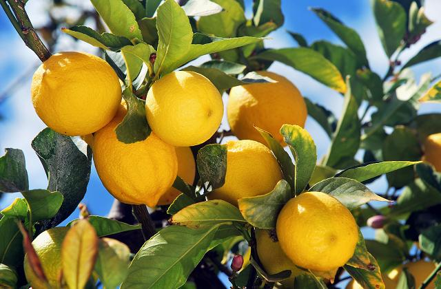 Adotta un albero di limoni calabresi