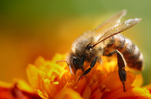 nettare d'ape