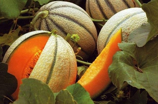 Come si coltiva il melone