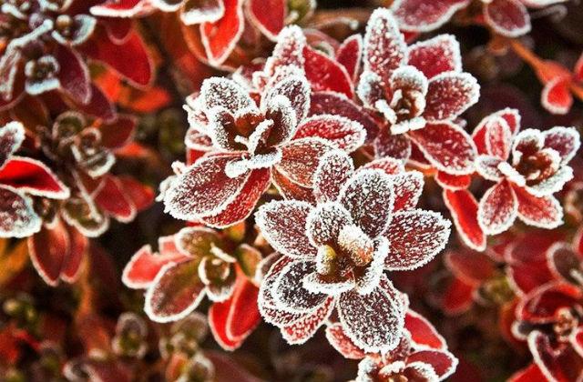 piante dal gelo rosse