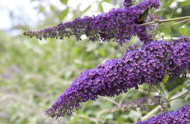 fioriture fine estate buddleja
